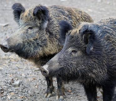 Von toten Wildschweinen muss eine Probe genommen werden