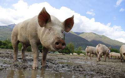 Biosicherheitsmaßnahmen in der Schweinehaltung